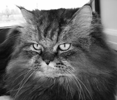 IMG_3882 (Anna Grove) Tags: pet cute animal cat wow persian tabby maine yawn whiskers gato laugh coon impressedbeauty annavanilla