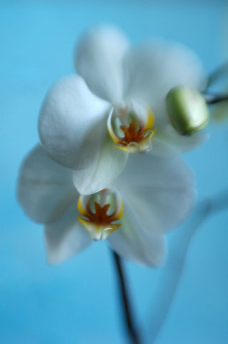 Orchid Phalaenopsis (IndoorPlants)