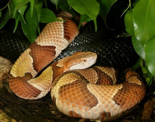 reptile snake stlouiszoo herp copperhead venemous osagecopperhead