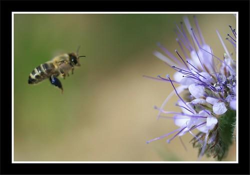 Bienen Phaceliablüte