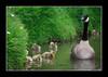 Hascombe..6 May 2007 (strussler) Tags: england canon eos pond village sigma surrey goslings 5d soe hascombe canadagoose naturesfinest specanimal animalkingdomelite anawesomeshot superbmasterpiece strussler frhwofavs ysplix empyreananimals theunforgettablepictures
