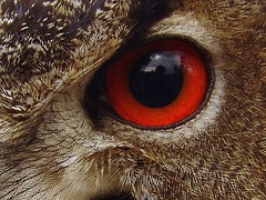 Auge des Uhu  (Joachim S. Mller) Tags: bird eye animal germany deutschland hessen owl moritz auge raubvogel birdofprey tier vogel uhu falknerei bubo hanau eurasianeagleowl bubobubo wildpark eule steinheim greifvogel kleinauheim altefasanerie verwendet wildparkaltefasanerie birdperfect
