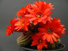 IMG_1769 (ali kangal) Tags: flowers friends cactus nature excellent makro flowerpower cartel smrgsbord flowermacro macrophotos flowerscolors outstandingshots flickrsbest masterphotos languageofflowers cactusblooms aplusphoto aclassphoto elagance hugyourcacti cactisucculentsbulbplants flickrdiamond cactussucculentplants hugyourcactiandsucculents jeannysfoto greatflowermacros greatflowersmacros magicofaworldinmacro jeannysphoto flickrblooms cartelanylovelyflower flickrelitgroup macroflowerlovers awesomeblossoms flickrflorescloseupmacros cactussucculentflowers