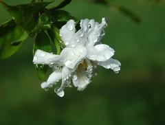 April Showers (Bu Yousef) Tags: flowers flower garden kuwait gardenia bu yousef  mangaf