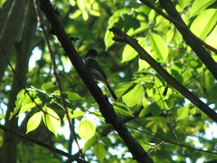 Flycatcher 3