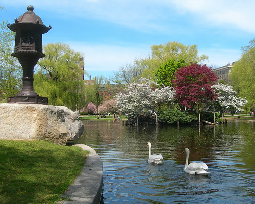 Swans in the Boston Public Garden, by Chris Walton