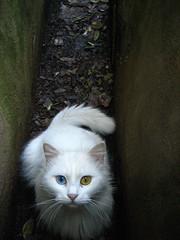 bowie cat # 2 (maximorgana) Tags: white eye wet fotosencadenadas cat fur bowie dry dirty curious botanicgarden canalon chainoffools