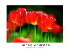 Bonne Journe / Good Day (Imapix) Tags: canada flower art nature fleur canon photography photo bravo foto photographie image quebec qubec tulip bonnejourne goodmorning bonjour tulipe imapix goodday supershot magicdonkey gaetanbourque shieldofexcellence imapixphotography gatanbourquephotography
