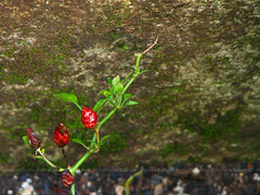 (tuli nishimura) Tags: verde buh vermelha seca sozinha morta pimenta tedio tulinishimura passeionahorta