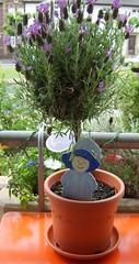 Lavendel1_sm
