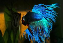 mwo_0180 (DigitalTribes) Tags: blue red fish water aquarium tank under attack siamese fisch mad fighting fin betta dt fins bettasplendens 2007 siamesefightingfish digitaltribes markoneil