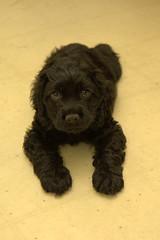 Cocker Spaniel Puppy (ZekaG) Tags: dog black cute animals dark puppy warm innocent 18 50 cockerspaniel cudly