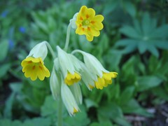 Cowslip (Primula veris), yellow version