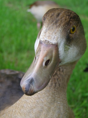 Young Egyptian Goose