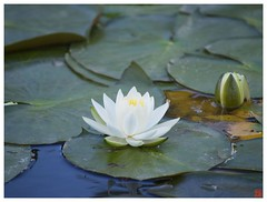 Water Lily 070519 #01