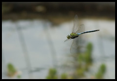 Volant (I) (crossa) Tags: flying dragonfly demoiselle animalplanet liblula volando volant outstandingshots libllula outstandingshot ltytr1 a3b