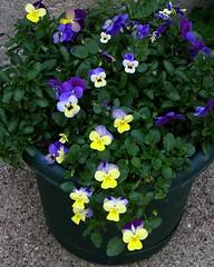 My Viola Pot (ladyinpurple) Tags: small viola multicolor