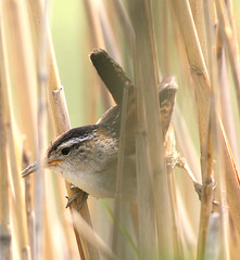 Marsh Wren (William  Dalton) Tags: bird nature birds explore wetlands marsh wrens saltwater marshwren cistothoruspalustris explore63 impressedbeauty avianexcellence