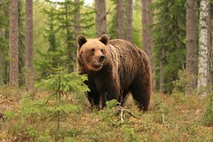 Bear (Fredww) Tags: bear finland wildlife bears ursusarctos kainuu