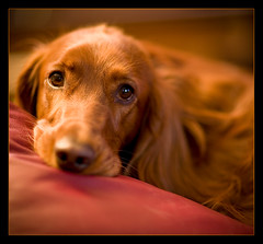 When Irish Eyes Are Smiling (Mr Geoff) Tags: red fab portrait irish dog pet canon 50mm eyes bravo f14 quality chapeau penny soe ef setter supershot impressedbeauty superhearts designingconnections