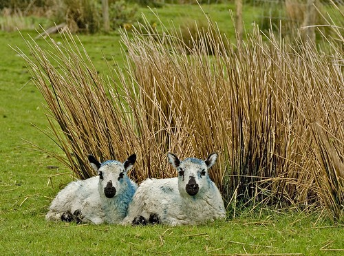 Blue Baby Sheep