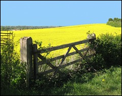 Field of Yellow (Lincolnian (Brian)) Tags: england beautiful yellow wow gate village lovely1 lincolnshire fields abc oilseedrape blueribbonwinner scampton 50club diamondclassphotographer flickrdiamond floralappreciation