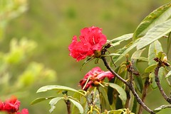 Red as a Rhodo