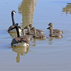 A Large Family (Jeannot7) Tags: water geese goslings marsh canadageese