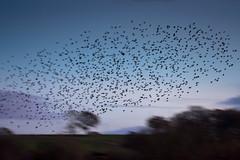 Brockholes November 2016-8319 (James Carlsson) Tags: d7200 starling brockholes nikon tamron 150 600mm murmuration
