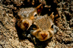 I Wanna See Too!!! (mightyquinninwky) Tags: baby tree home 30 pod squirrels infant nest 10 kentucky 110 orphans explore bark trunk lexingtonky 100 500views 500 20 pow 50 75 1500 1000 knothole 115 1000views chevychase abw naturesfinest fontaineroad naturescall 1800views instantfave 1500views 125faves centralkentucky shieldofexcellence anawesomeshot 1on1animalsnonpetphotooftheday firsttheearth diamondclassphotographer flickrdiamond superhearts weened 1on1animalsnonpetphotoofthedayapril2007 150comments bestofsquirrels treeofhonor 111faves jasonpresser 190comments 11223344556677 exploreformyspacestation bestofformyspacestation