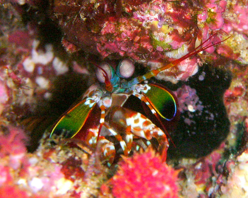 Mantis Shrimp at Similan Islands