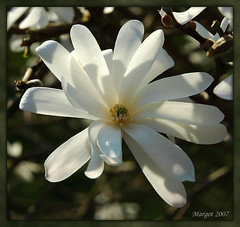 In the garden of friends...... (Margot) Tags: friends white flower tag3 taggedout garden spring tag2 tag1 seasons magnolia baarn margotpouw margot