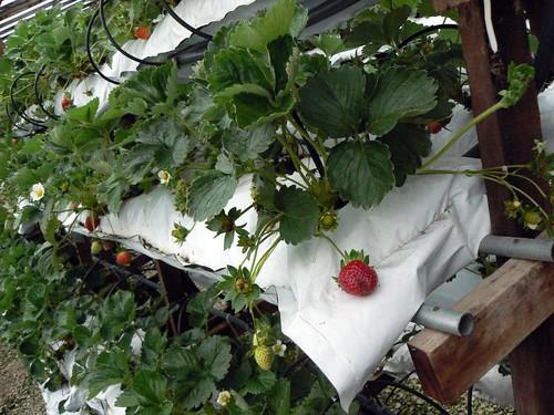 KHM Strawberry Farm