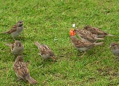Strawberry thief and friends (Kirsten M Lentoft) Tags: berlin birds strawberry sparrow momse2600 kirstenmlentoft