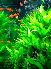 403-043 東京 築地市場 (Chrischang) Tags: travel orange fish plant green japan geotagged aquarium tokyo tsukiji 日本 東京 築地 2007 platy japan2007 geo:tool=gmif geo:lat=35667355 20070403 geo:lon=139771414 geo:lat=35666588 geo:lon=139770164 geo:lat=35666562 geo:lon=139770228