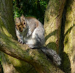 Another squirrel... slightly overweight (sbuliani) Tags: park london nature animal lumix squirrel stefano buliani sapessi stefanobuliani