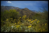 Yellow flowers (Encelia) (Ledio (mostly away)) Tags: california flowers nature d50 landscape nikon palmsprings socal southerncalifornia peisazh nikonstunninggallery piesazh
