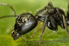 Почему все мечтают избавиться от черных садовых муравьев.