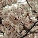 姫路城:Cherry Blossoms