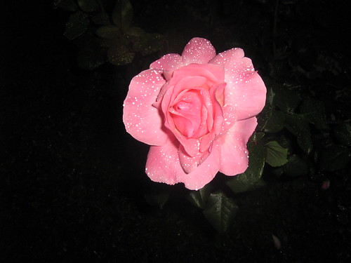 a rose with rain drops for you, friends. :)