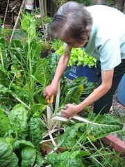 Nanay Harvesting Swiss Chard