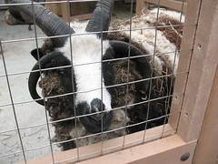 A Friendly Sheep
