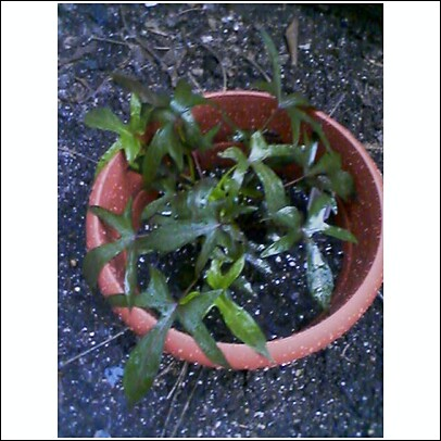 otto ivy
