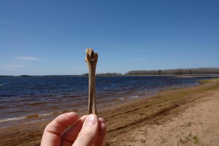 beach bone