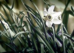 narcissus (mitumo) Tags: 500v20f daffodil narcissus jonquil naturesfinest impressedbeauty diamondclassphotographer ysplix