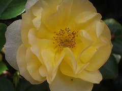 Julia Child Rose.  Photo by The Marmot.