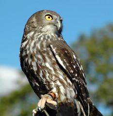 Barking Owl (Zenotri) Tags: barkingowl wccsb