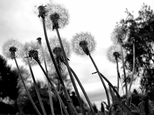Make A Wish - Dandelions in Stayton Oregon