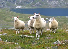 Curious Sheep (Mike Dole) Tags: norway sheep romsdalalps