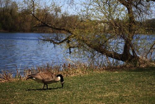Goose 1835